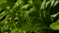 Lettuces Growing in a Pot video