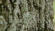 Lichen and Ants on Tree Bark video