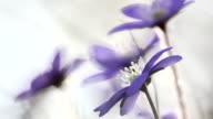 lifer leaf in spring video