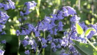 A Light breeze swaying pretty bluebell flowers blooming in spring video