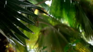 SLOW MOTION: Light rainfall water drops falling on big lush palm tree leaves video