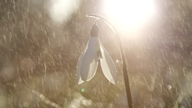 CLOSE UP, DOF: Light spring rain falling on early spring flower called snowdrop video