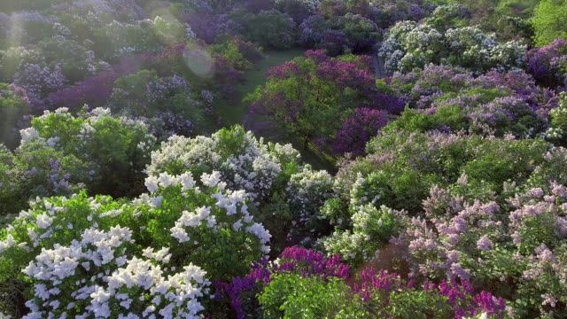 lilac blossom tree in spring garden, blooming lilac tree. Aerial view. video