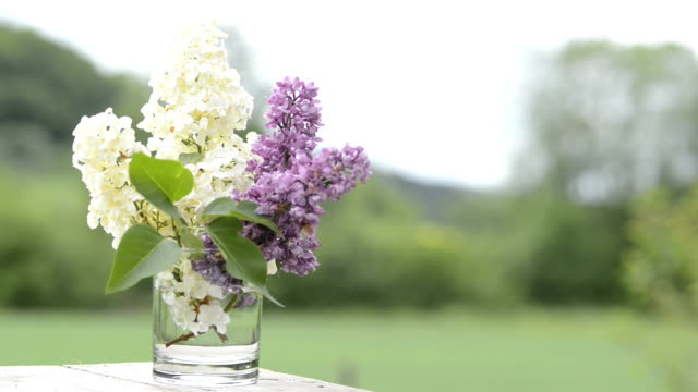 Lilac blossoms video