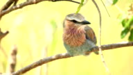 Lilac breasted roller video