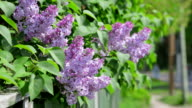 Lilac flowers and fence. video