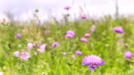 Lilac flowers on a meadow video