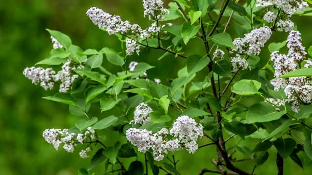 Lilac video