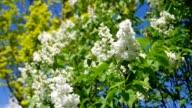 lilac white video