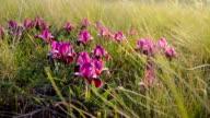Lilac wild irises in nature video
