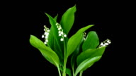 Lilies of the valley video