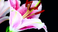 Lilium blooming HD video