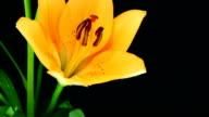 Liliums blooming video