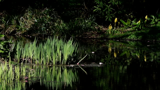 Lillies growing by the edge of a pond video