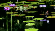 (HD) Lilly Pond selective focus video