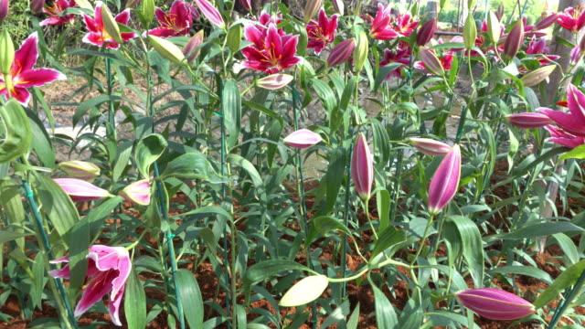 lily flowers blooming, pan shot video