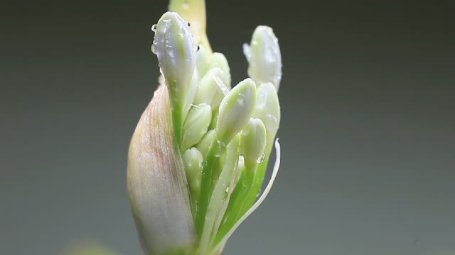 lily of the Nile ready to bloom video