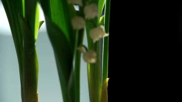 Lily of the valley tilt in slow motion video