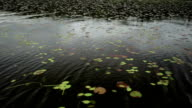 Lily Pads Floating by Boat video
