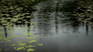 Lily Pads Lining Path in Water video