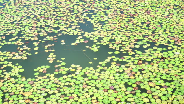 Lily pads on the surface of a pond. video