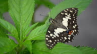 Lime Butterfly (HD.) video