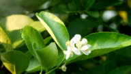 lime flower video