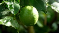 Lime green tree video