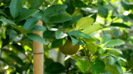 Lime tree with fruits closeup video