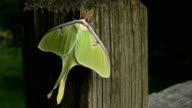Lime-green Luna Moth on Fence Post Close-Up video