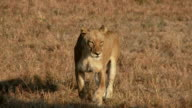 Limping Lioness video