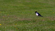 Limping magpie on the grass video