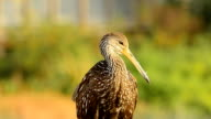 Limpkin facing camera, with bits of feather on its beak video