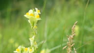 Linaria vulgaris. Common toadflax flower in a meadow video
