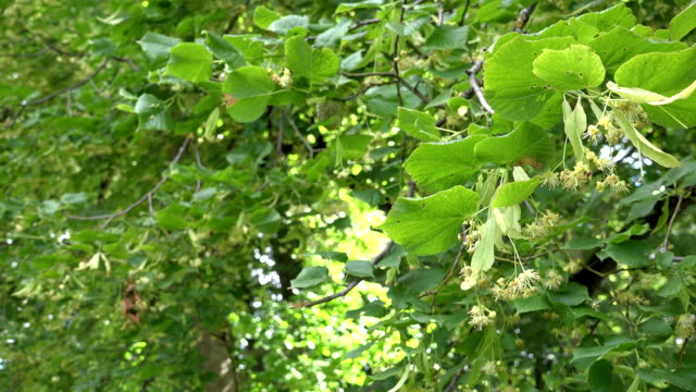 linden tree branch with yellow blossom in still. Focus change. FullHD video