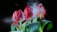 SLO MO LD line of red tulips exploding video