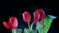 SLO MO LD Line of red tulips swaying when hit video