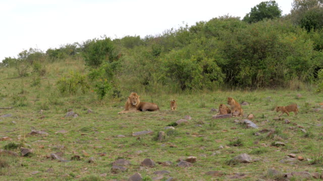 Lion And Cubs Resting video