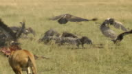 lion and vulture video