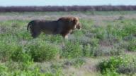Lion at Etosha video
