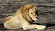 Lion Being Annoyed by Flys video