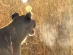 Lion breath video