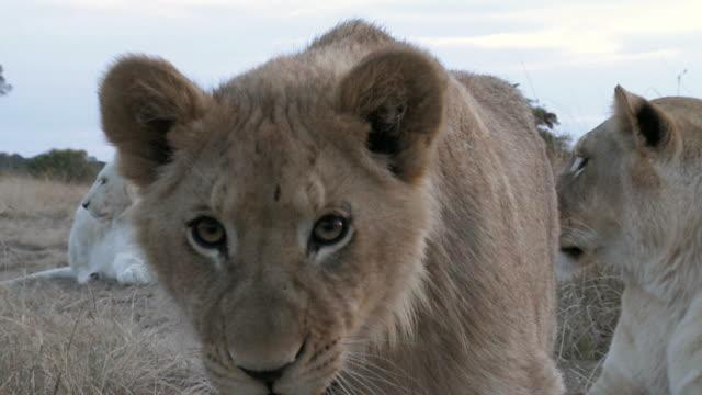 Lion cub defending the pride video