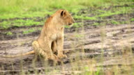 Lion cub resting at wild video
