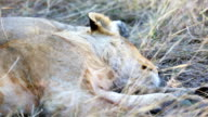 Lion cub sleeping after meal in Africa video