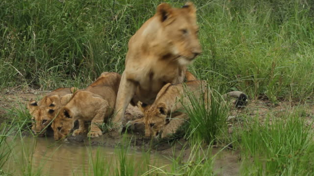 Lion cubs drinking with their mother. video