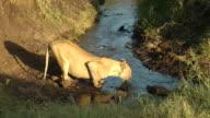 Lion drinking video