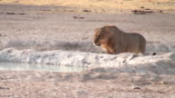 Lion drinking video