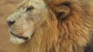 Lion Face video