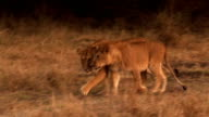lion family video